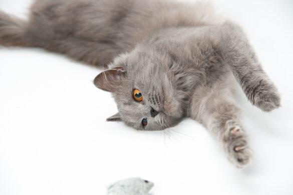 Домашня студія для кішки